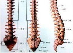 强直性脊柱炎模型
